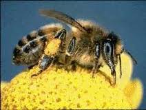 Bees collect pollen which sticks to their legs and is carried back to the hive, where it is used as a protein source necessary for nourishing the new generations