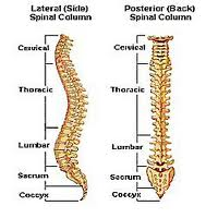 The spinal column, backbone or spine consists of 24 articulating vertebrae and 9 fused vertebrae in the sacrum and coccyx or tailbone