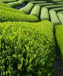 green tea plants are grown in rows that are pruned to produce shoots