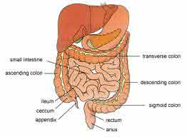 The digestive system is a complex series of organs and glands that processes food so that the body can use it to build and nourish cells and to provide energy