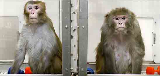 Longevity research on monkeys in double bind study with one on calorie restricted diet and the other on normal diet