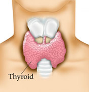 The thyroid is a small gland which is in the neck just under the chin in the area which would be covered by the knot and top of a tie in men. It is brown in colour and shaped like a butterfly.